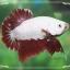 """(ขายแล้วครับ)""""คัดเกรด""""ปลากัดครีบสั้นเทพมากๆสวยแบบเนียนลงตัว-Halfmoon Plakats Red Dragon2 thumbnail 8"""
