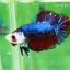 (ขายแล้วครับ)ปลากัดครีบสั้น-Fancy Halfmoon Plakats thumbnail 3