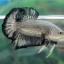 """(ขายแล้วครับ)""""คัดเกรด""""ปลากัดครีบสั้น-Halfmoon Plakats Black Dragon thumbnail 5"""