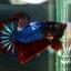 """(ขายแล้วครับ)""""คัดเกรด""""ปลากัดครีบสั้น-Halfmoon Plakats Super Fancy Ghost Devil Grade A thumbnail 6"""