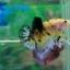 """(ขายแล้วครับ)""""Grade A""""ปลากัดครีบสั้น-Halfmoon Plakats Super Fancy Koi Grade A thumbnail 3"""