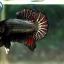 """(ขายแล้วครับ)Copper Nice Form """"คัดเกรด""""ปลากัดครีบสั้น-Halfmoon Plakats thumbnail 4"""