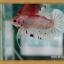 (ขายแล้วครับ)HMPKFC ปลากัดครีบสั้นเกรดประกวด thumbnail 4