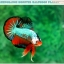 """(ขายแล้วครับ)""""คัดเกรดประกวด""""ปลากัดครีบสั้น-Over Halfmoon Plakats Fancy Dragon Green Orange Monster Quality Grade thumbnail 10"""