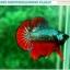 """(ขายแล้วครับ)""""คัดเกรดประกวด""""ปลากัดครีบสั้น-Over Halfmoon Plakats Fancy Dragon Green Red Quality Grade thumbnail 2"""