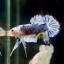 """(ขายแล้วครับ)""""คัดเกรด""""ปลากัดครีบสั้น-Halfmoon Plakats Super Fancy Grade AAA (ปลาประกวด) thumbnail 12"""