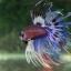 """(ขายแล้วครับ)""""คัดเกรด""""ปลากัดครีบยาวหางมงกุฎ-Crowntails Fancy thumbnail 7"""