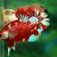พิเศษโปรโมชั่นปลากัดคัดเกรดครีบสั้น - Halfmoon Plakad Fancy Dragon Quality Grade thumbnail 3