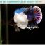 """(ขายแล้วครับ)""""คัดเกรดประกวด""""ปลากัดครีบสั้นหูช้าง-Halfmoon Plakats Big Ear Lavender Quality Grade thumbnail 13"""