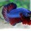 """(ขายแล้วครับ)""""คัดเกรด""""ปลากัดครีบสั้น-Halfmoon Plakats Fancy Blue Red thumbnail 7"""