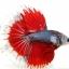 """""""คัดเกรดประกวด""""ปลากัดครีบยาว-Halfmoon Fancy Red Butterfly Premium Quality Grade AAA+ thumbnail 3"""