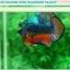 """(ขายแล้วครับ)""""คัดเกรดประกวด""""ปลากัดครีบสั้น-Over Halfmoon Plakats Fancy Dragon Blue Orange Quality Grade thumbnail 2"""