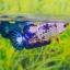 คัดเกรดปลากัดครีบสั้นเพศเมีย- Female Halfmoon Plakat Fancy Dragon Quality Grade thumbnail 2