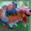 (ขายแล้วครับ)Fancy Orange Over ปลากัดครีบสั้น-Halfmoon Plakats thumbnail 3