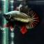 """(ขายแล้วครับ)""""คัดเกรด""""ปลากัดครีบสั้น-Halfmoon Plakats Red Copper thumbnail 3"""