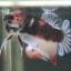"""(ขายแล้วครับ)""""คัดเกรด""""ปลากัดครีบสั้น-Halfmoon Plakats Fancy monster thumbnail 2"""