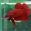 (ขายแล้วครับ)Super red ปลากัดครีบสั้น-Halfmoon Plakats Super Red thumbnail 6