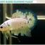 """""""คัดเกรด""""ปลากัดครีบสั้น-Halfmoon Plakats Fancy Marble thumbnail 1"""