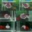 ตอนรับเทศกาลวันวาเลนไทน์มาเป็นคู่#1^ปลากัดหูช้าง^ thumbnail 1