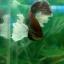 """(ขายแล้วครับ)""""คัดเกรด""""ปลากัดครีบสั้นหูช้าง-Halfmoon Plakats Big Ear Lavender thumbnail 14"""