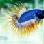 (ขายแล้วครับ)ปลากัดครีบยาวหางมงกุฎ-Crowntails02 thumbnail 6