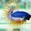 (ขายแล้วครับ)ปลากัดครีบยาวหางมงกุฎ-Crowntails02 thumbnail 1