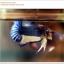 คัดเกรดปลากัดครีบสั้น-Halfmoon Plakat Blue Mustrad thumbnail 2