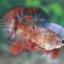 """(ขายแล้วครับ)""""คัดเกรด""""ปลากัดครีบสั้นตัวเมีย-Female Halfmoon Plakats Fancy Red Koi thumbnail 10"""