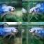 """(ขายแล้วครับ)""""คัดเกรด""""ปลากัดครีบสั้น-Halfmoon Plakats FANCY DRAGON OHMPK thumbnail 1"""