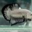 """(ขายแล้วครับ)""""คัดเกรด""""ปลากัดครีบสั้น-Halfmoon Plakats Black Dragon thumbnail 11"""