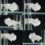 (ขายแล้วครับ)ปลากัดครีบสั้น - Halfmoon Plakats Super White thumbnail 1