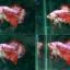 """(ขายแล้วครับ)""""คัดเกรด""""ปลากัดครีบสั้น-Halfmoon Plakats Fancy thumbnail 1"""