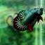 """(ขายแล้วครับ)""""คัดเกรด""""ปลากัดครีบสั้น-Halfmoon Plakats Fancy Dragon Green Red thumbnail 8"""