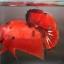 ปลากัดคัดเกรดครีบสั้น - Halfmoon Plakad Fancy Red Devil Premium Quality Grade AAA+ thumbnail 2