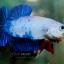 """(ขายแล้วครับ)""""คัดเกรด""""ปลากัดครีบสั้น-Halfmoon Plakats Fancy Dragon Blue thumbnail 4"""