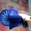 ปลากัดคัดเกรดครีบสั้น - Halfmoon Plakad Over Tails BlueSky White Head Premium Quality Grade AAA+ thumbnail 1