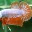 """(ขายแล้วครับ)""""คัดเกรด""""ปลากัดครีบสั้น-Halfmoon Plakats Orange Dragon Sweet thumbnail 3"""