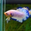 คัดเกรดปลากัดครีบสั้น-Halfmoon Plakad Fancy Marble Qaulity Grade thumbnail 3