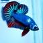 ปลากัดคัดเกรดครีบสั้น - Halfmoon Plakad Fancy Dragon Premium Quality Grade AAA+ thumbnail 2