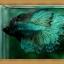 Halfmoons ปลากัดครีบยาว หางพระจันทร์ครึ่งดวง thumbnail 4