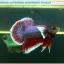 """(ขายแล้วครับ)""""คัดเกรด""""ปลากัดครีบสั้นหูช้าง-Halfmoon Plakats Big Ear Lavender thumbnail 7"""