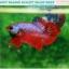 """(ขายแล้วครับ)""""คัดเกรด""""ปลากัดครีบสั้น-Halfmoon Plakats Fancy Dragon Red Devil thumbnail 3"""