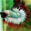(ขายแล้วครับ)ปลากัดครีบยาวหางมงกุฎ-Crowntails06 thumbnail 9