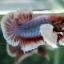 """(ขายแล้วครับ)Big Ear หูช้าง """"คัดเกรด""""ปลากัดครีบสั้น-Halfmoon Plakats Big Ear Lavender thumbnail 7"""