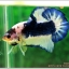 Hi - Premium Grade AAA+ คัดเกรดปลากัดครีบสั้น-Over Tails Halfmoon Plakad Fancy Blue Marble thumbnail 2