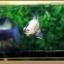 คัดเกรดปลากัดครีบสั้น-Halfmoon Plakat Fancy Blue Dragon and Marble thumbnail 8