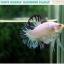 """(ขายแล้วครับ)""""คัดเกรด""""ปลากัดครีบสั้น-Halfmoon Plakats Fancy Marble Quality Grade thumbnail 4"""