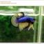 คัดเกรดปลากัดครีบสั้น-Halfmoon Plakat Mustrad Quality Grade thumbnail 10