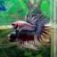 (ขายแล้วครับ)ปลากัดครีบยาวหางมงกุฏ-Crowntails Fancy thumbnail 5