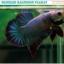 """(ขายแล้วครับ)""""คัดเกรด""""ปลากัดครีบสั้น-Halfmoon Plakats Fancy Grizzled thumbnail 3"""